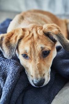 Netter rothaariger hund mit hängenden ohren liegt auf dem sofa auf einer decke.