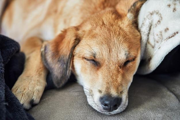 Netter rothaariger hund mit hängenden ohren schläft auf einem sofa auf einer decke.