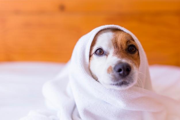 Netter schöner kleiner hund, der mit einem weißen handtuch im badezimmer getrocknet wird. zuhause. drinnen.