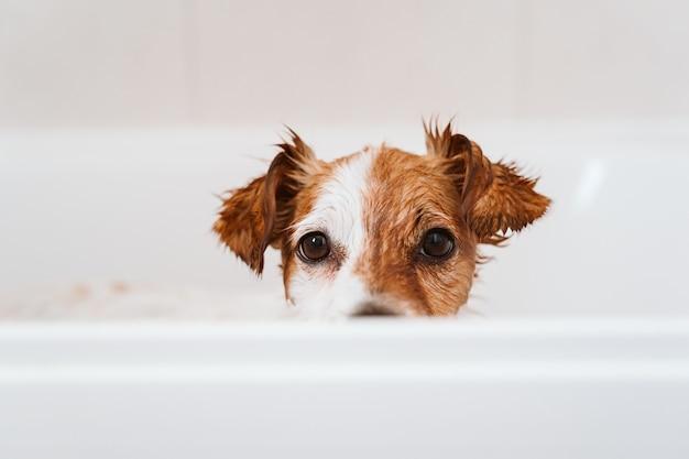 Netter schöner kleiner hund nass in der badewanne, sauberer hund. haustiere drinnen