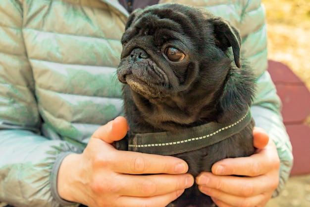 Netter schwarzer mopshund, der auf männlichem schoß auf natürlichem baclground des frühlingsparks sitzt. nahansicht. selektiver weichzeichner. geringe schärfentiefe. textkopierraum.