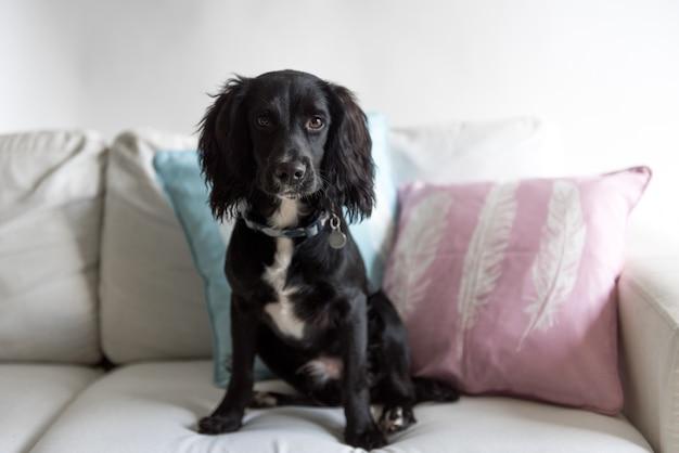 Netter schwarzer spanielhund, der auf der couch sitzt