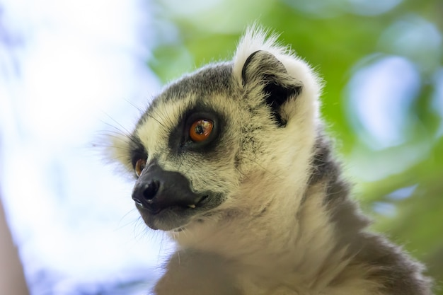 Netter schwarzweiss-lemur auf einem baum