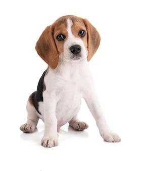 Netter sitzender welpen beagle, der nach vorne schaut Premium Fotos