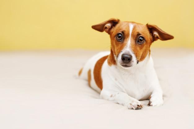 Netter steckfassungsrussell-hund, der auf bett liegt und in camera schaut.