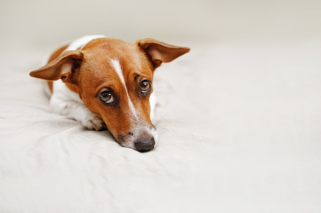 Netter steckfassungsrussell-hund, der auf bett liegt.