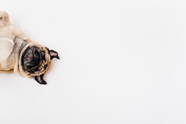 Netter überraschter hund, der auf boden liegt