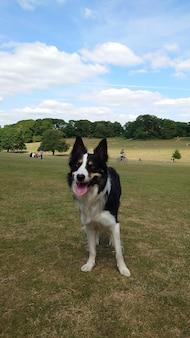 Netter und entzückender walisischer schäferhund, der mit ausgestreckter zunge auf dem gras steht