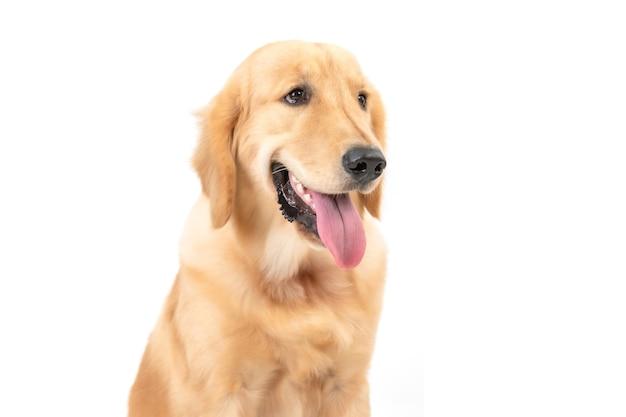 Netter und flauschiger golden retriever hund