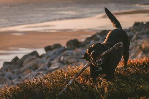 Netter und glücklicher hund, der auf einem stock kaut