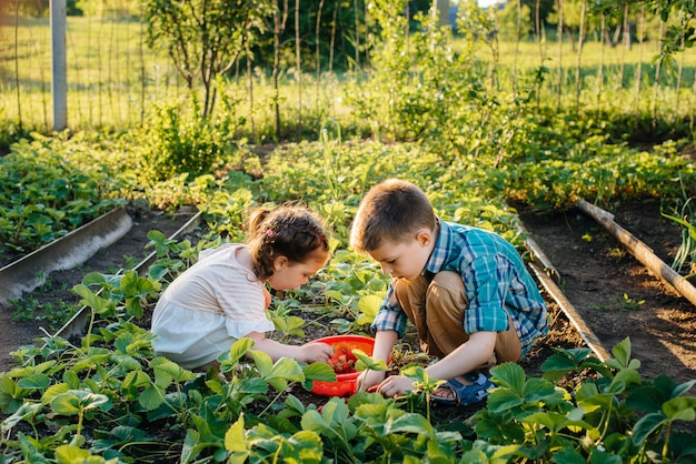 Netter und glücklicher kleiner bruder und schwester des vorschulalters sammeln und essen reife erdbeeren im garten an einem sonnigen sommertag. glückliche kindheit. gesunde und umweltfreundliche ernte.
