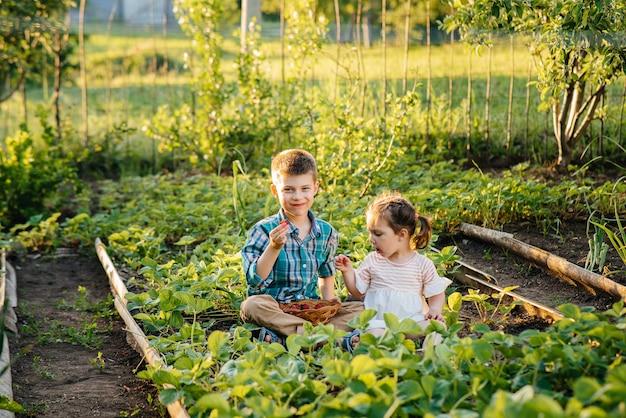 Netter und glücklicher kleiner bruder und schwester des vorschulalters sammeln und essen reife erdbeeren im garten an einem sonnigen sommertag.