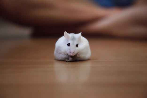 Netter weiblicher exotischer winter-weißer zwergartiger hamster, der nahrung für haustiere auf bodenhintergrund isst