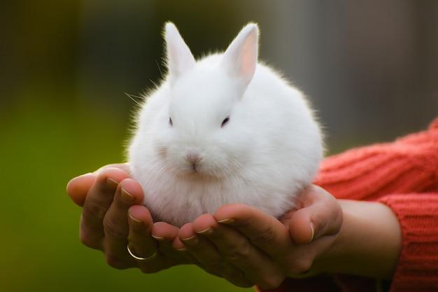 Netter weißer hase sitzt auf weiblichen händen
