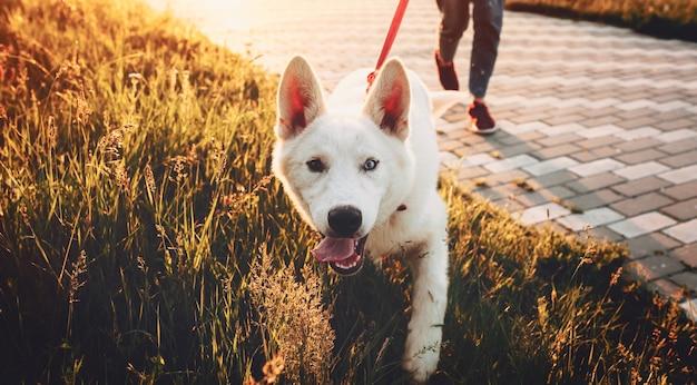 Netter weißer hund, der zur kamera geht, während er im park mit seinem besitzer am sonnenuntergang geht.