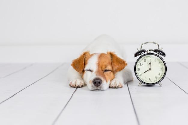 Netter weißer kleiner hund, der auf dem boden liegt und schläft. wecker mit 8 uhr daneben. wachen sie und morgenkonzept auf. haustiere drinnen