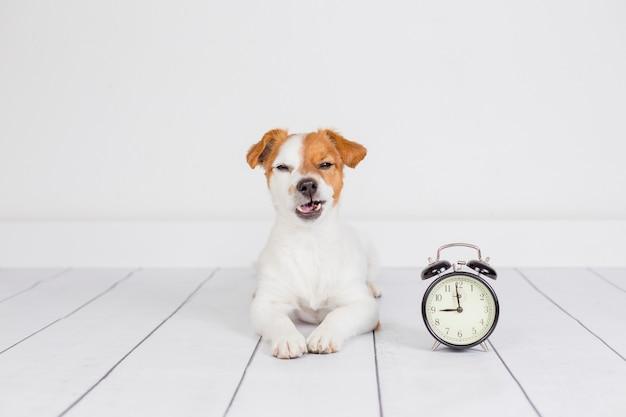 Netter weißer kleiner hund, der auf dem boden liegt und verärgert sich fühlt. wecker mit 9 uhr daneben. wachen sie und morgenkonzept auf. haustiere drinnen