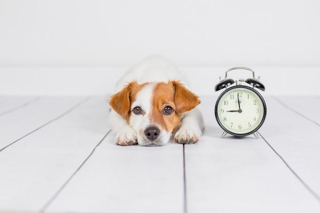 Netter weißer kleiner hund, der auf dem boden liegt. wecker mit 9 uhr daneben. wachen sie und morgenkonzept auf. haustiere drinnen