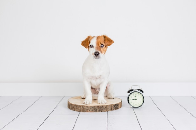 Netter weißer kleiner hund, der auf dem boden sitzt. wecker mit 9 uhr daneben. wachen sie und morgenkonzept auf. haustiere drinnen