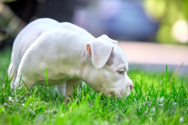 Netter welpe, der auf dem gras auf dem hintergrund des autos spielt. konzept der ersten lebensschritte, tiere, eine neue generation. welpe american bull.