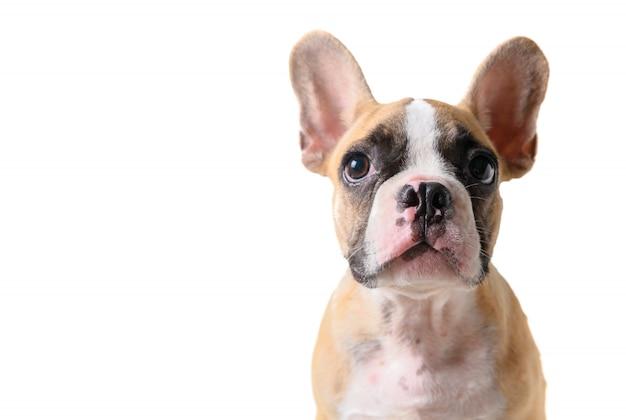 Netter welpe der französischen bulldogge, der lokalisiert schaut