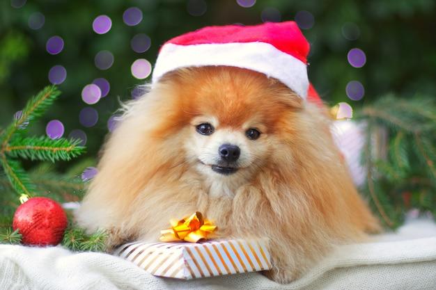 Netter welpe, glücklicher positiver pommerscher spitzhund, der lächelt