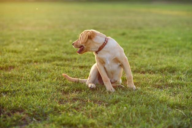 Netter welpe labrador retriever, der auf dem gras bei sonnenuntergang oder sonnenaufgang sitzt