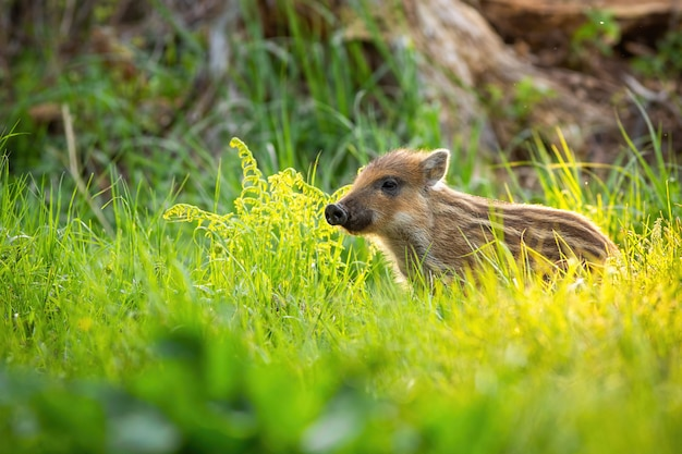 Netter wildschwein, der auf der wiese im frühling bei sonnenuntergang mit kopienraum steht.