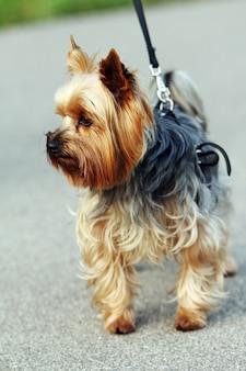 Netter yorkshire-terrier