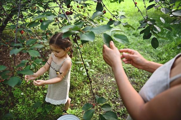 Nettes baby mit ihrer mutter, die kirschen im obstgarten pflücken. kirschernte