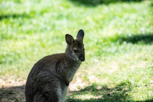 Nettes beuteltier, känguru im schatten im sommer