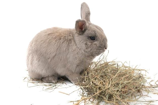 Nettes dekoratives kaninchen grau mit heu isoliert auf weißem hintergrund