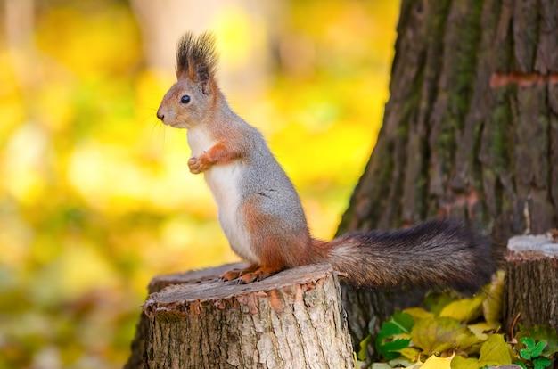 Nettes eichhörnchen, das auf stumpf im herbstpark in st petersburg sitzt