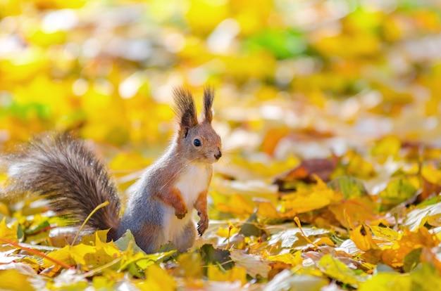 Nettes eichhörnchen, das im herbstpark in st petersburg sitzt