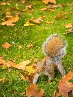 Nettes eichhörnchen, das mit ahornblättern in einem grasfeld während des tages spielt