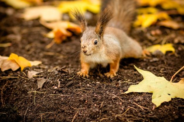 Nettes eichhörnchen, das nach einer nuss sucht