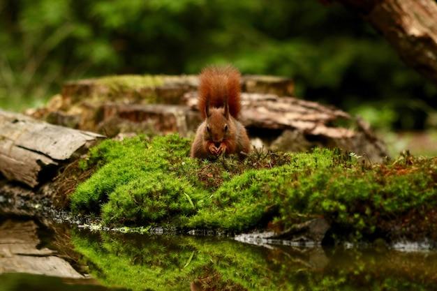 Nettes eichhörnchen, das nach nahrung in einem wald sucht