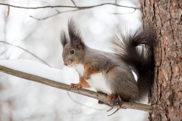 Nettes eichhörnchen, das winterszene, schneebedeckten park oder wald betrachtet