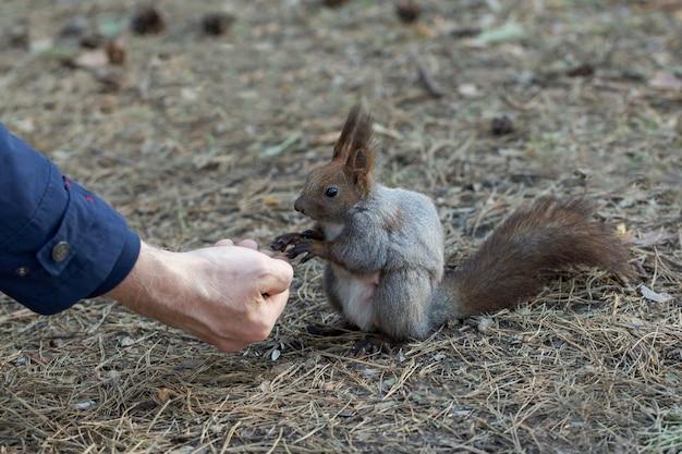 Nettes eichhörnchen frisst nüsse aus der hand eines mannes und hilft dem naturschutz der wilden tiere