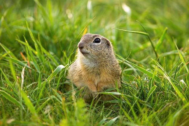 Nettes europäisches grundeichhörnchen, das in die kamera auf grünem gras im frühjahr schaut.