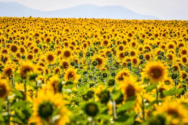 Nettes feld von sonnenblumen an einem sonnigen tag. alava, baskenland, spanien