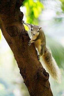 Nettes flaumiges graues eichhörnchen, das auf dem baum und augen spähen neugierig im wald am sommertag klettert.