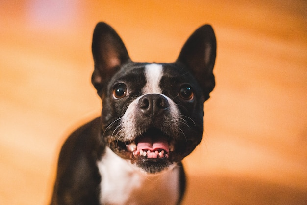 Nettes französisches bulldoggenporträt