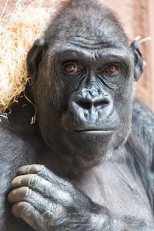 Nettes gorillaporträt, das aus den grund sitzt