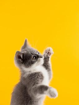 Nettes graues kätzchen lustig und spaß, der auf ein gelb spielt und tanzt.