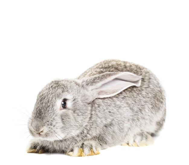 Nettes graues kaninchen isoliert auf weißem hintergrund