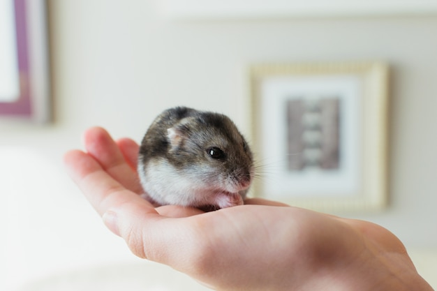 Nettes hamsterhaustier, das auf der hand eines inhabers isst.
