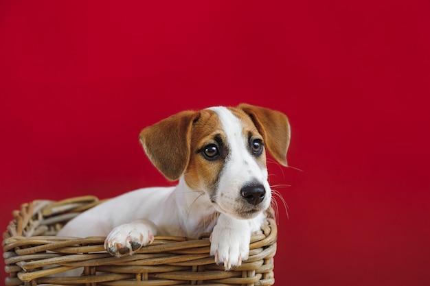 Nettes jack russell terrier-welpenporträt.