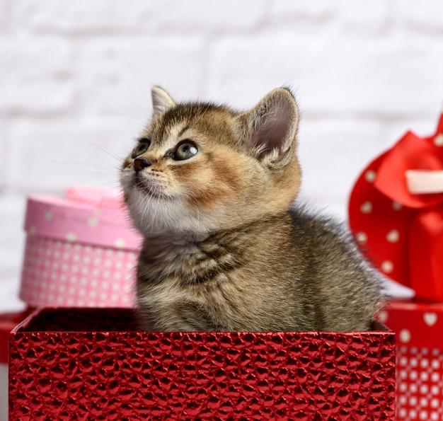 Nettes kätzchen der rasse scottish golden chinchilla straight sitzt in einer roten geschenkbox