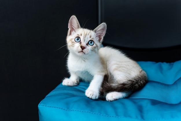 Nettes kätzchen mit blauen augen auf blauem kissen